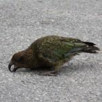 På vejen mod Milford Sound mødte vi en af de lokale...