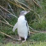 Guløjede-pingviner ved Dunedin